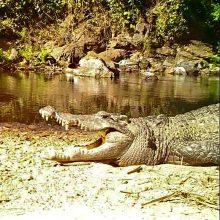 Australijoje vyras atrėmė jį užpuolusį krokodilą