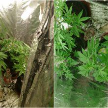 Jonaviškio garaže rastos vazonuose auginamos kanapės: gresia ilgi metai kalėjimo