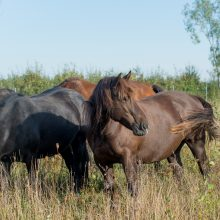 """Svarbiausia: """"Arklių slėnio"""" bandos dominuojanti kumelė – Kakava, kuri kažkada čia pateko visiškai išsekusi."""