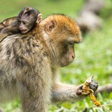 Tyrėjai: COVID-19 persirgusioms beždžionėms išsivystė trumpalaikis imunitetas