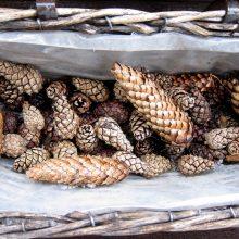 Kankorėžiai jau keliauja į aižyklą: iš atrinktų ir genetiškai vertingų sėklų vėl augs medeliai