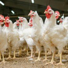VMVT: svarstoma galimybė nutraukti įsakymą dėl naminių paukščių laikymo aptvaruose