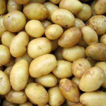 Lietuviškų bulvių derlius šiemet pasirodė anksčiau ir kainuoja mažiau