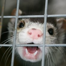 COVID-19 ir gyvūnai: baimės ir faktai