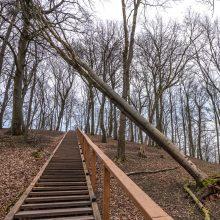 Ant Napoleono kalno – stipraus vėjo padariniai: pasvirusio medžio niekas netvarko
