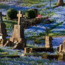 Bernardinų kapinėse – mėlynų gėlių jūra