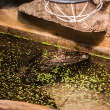 Savininkas: šis krokodilinis kaimanas buvo konfiskuotas iš veterinarijos studento.