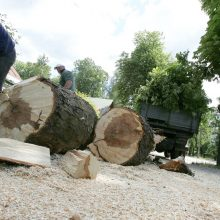 Brandžių medžių kirtimui miestuose planuojamas apynasris