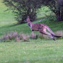 Tragiškai pasibaigęs filmavimas: teritorija – didelė, o kengūros greitis – 60 km/val.