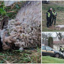 Gyventojai šiurpsta nuo pamatytų vaizdų: pievoje – leisgyvės avys
