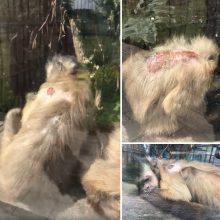 Sužalotos Klaipėdos zoologijos sodo beždžionės sukėlė gailestį
