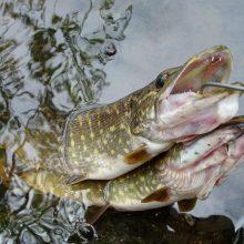 Ežeruose ir upėse vėl galima žvejoti lydekas