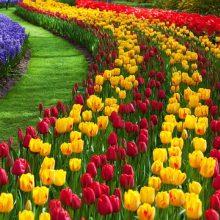 Tulpių Europoje jubiliejus