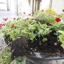 Vandalai – prieš senamiesčio gėles: šįkart užkliuvo pelargonijos