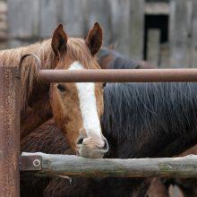 Kam pigių atšertų arklių?
