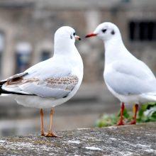 Klaipėdiečiams gali būti uždrausta lesinti paukščius