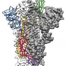 Mokslininkai paskelbė apie proveržį kuriant koronaviruso atomų modelį