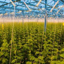 Prekybos centruose – pirmasis lietuviškų trumpavaisių agurkų derlius