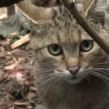 Kaune gimė laisvėje išnykusių kačių jauniklis