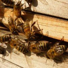 Kretingos rajone pavogtas avilys su bitėmis