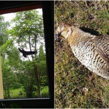 Žaliakalnio gyventojai sunerimę: į langus daužosi paukščiai