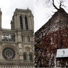 Atrinkti pirmieji ąžuolai Paryžiaus Dievo Motinos katedros atstatymui