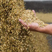 Lietuvoje vėl tikimasi rekordinio grūdų ir rapsų derliaus