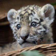 Austrijoje buto vonioje rasti du tigriukai