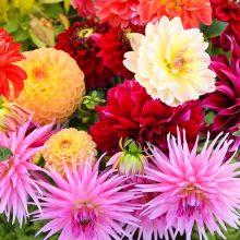 """Botanikos sode – tradicinis renginys """"Pakalnutės uoga"""""""