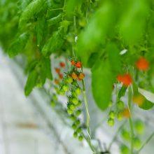 Parduotuvių lentynas pasiekė pirmieji lietuviški pomidorai