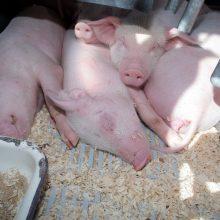 K. Navickas: dėl pagalbos kiaulių augintojams kalbamės su Vyriausybe ir Europos Komisija