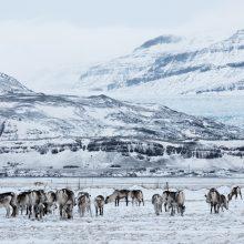 Arkties gyventojai ieško būdų, kaip gelbėti savo šiaurietiškas tradicijas
