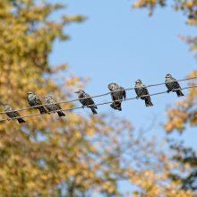 Seimas neleido iš biudžeto kompensuoti paukščių padarytos žalos