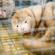 Estijos prezidentė patvirtino kailinių žvėrelių fermų draudimą