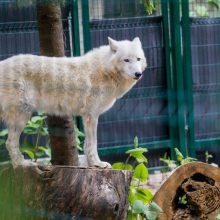 Karščiai zoologijos sode: gyvūnams siūlomi dušai, vėsi mėsa ir ledai