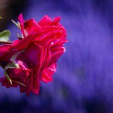 Didžiausias Lietuvoje rožynas pasiekė žydėjimo piką