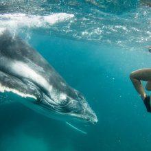 Prie Australijos krantų banginis uodega sunkiai sužalojo nardytoją