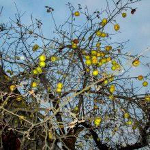 Gruodžio viduryje kauniečius stebina gausiai vaisiais apkibusi obelis