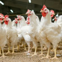 VMVT perspėja: prasidėjus pavasarinei paukščių migracijai – didėja ir paukščių gripo grėsmė