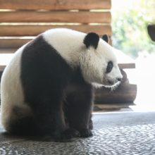 Berlyno zoologijos sodas laukia gimstant pandų mažylio