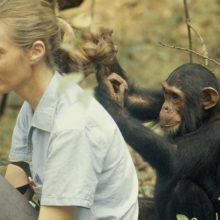 Kuo šimpanzės panašios į žmones?