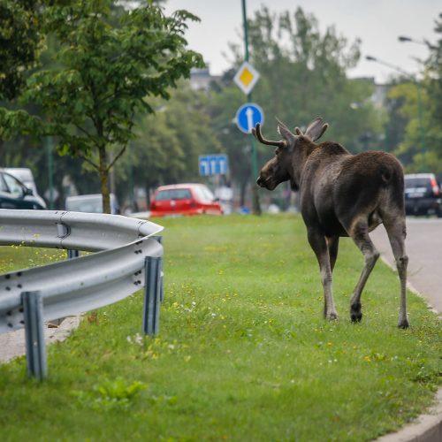 Briedis miesto gatvėmis  © Vytauto Petriko nuotr.