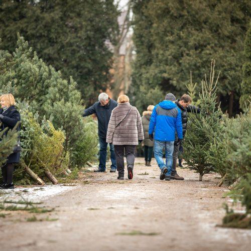 Kalėdinės eglutės paieškos  © Eitvydo Kinaičio nuotr.
