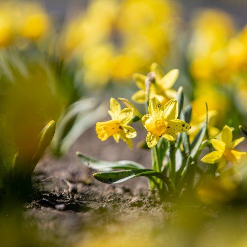 Laisvės alėjoje jau geltonuoja narcizai  © Justinos Lasauskaitės nuotr.