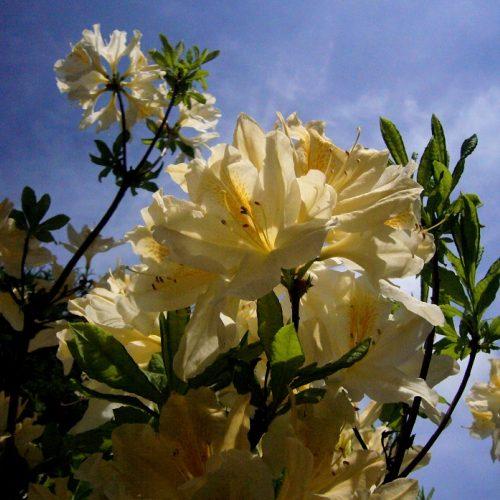 Dubravos arboretume jau pražydo rododendrai