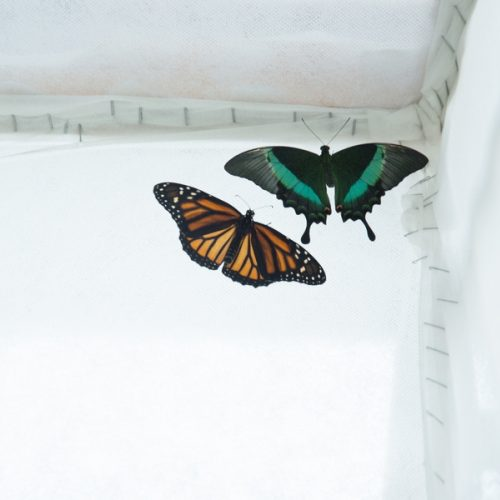 Botanikos sode – atogrąžų drugių paroda  © Organizatorių nuotr.