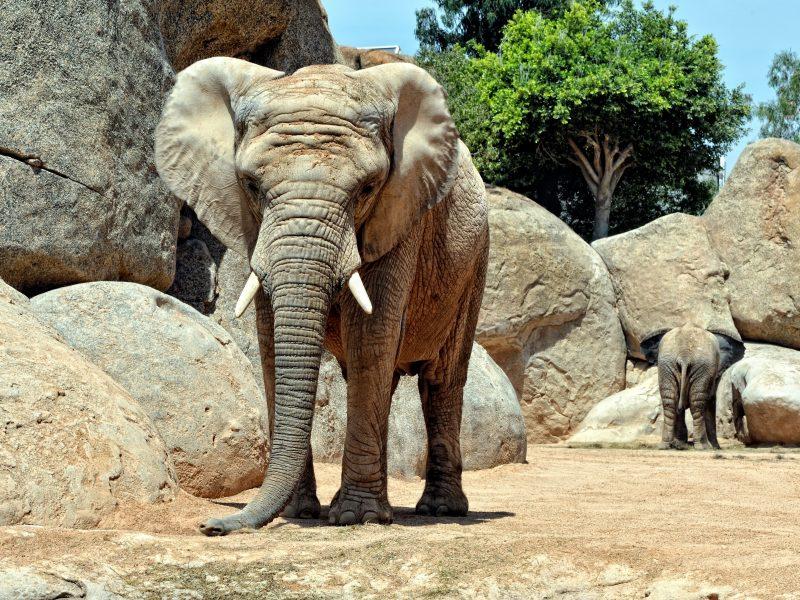 Ispanijoje dramblio patelė užmušė zoologijos sodo darbuotoją