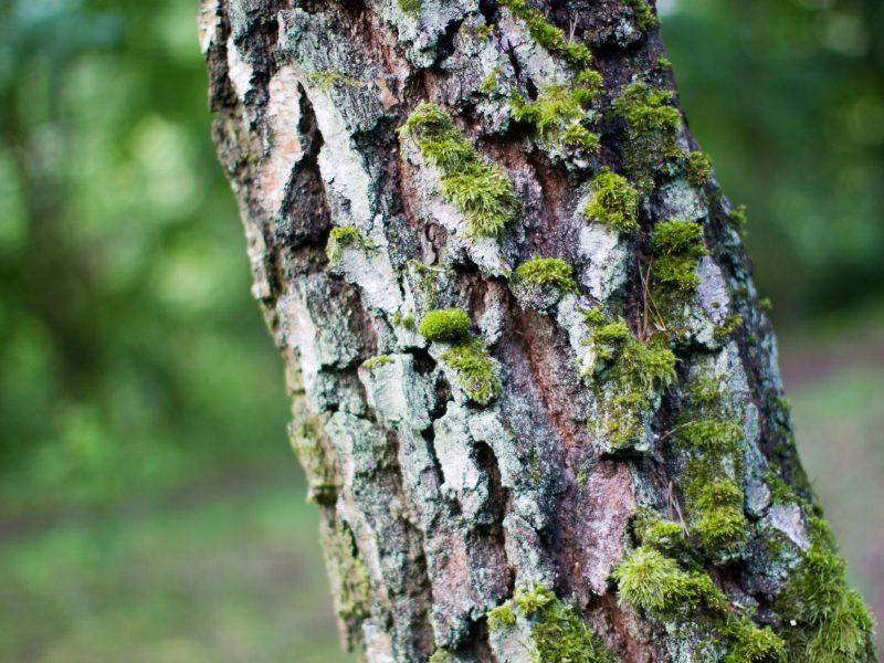 Vilniaus rajone – nelaimė: kertamas medis mirtinai prispaudė vyrą