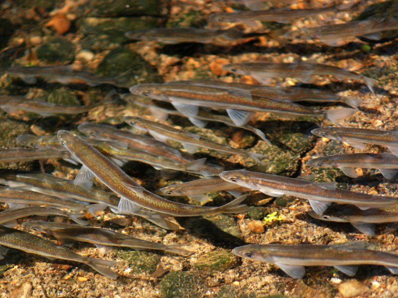 Mokslininkai uoste stebės migruojančias žuvis