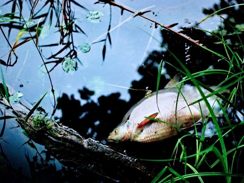 Aplinkosaugininkai aiškinasi, kodėl Aukštaitijoje gaišta žuvys
